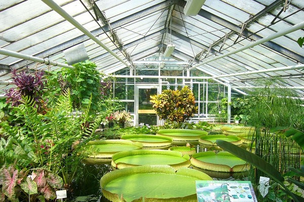 1200px-Botanischer_Garten_BS.Seerosen